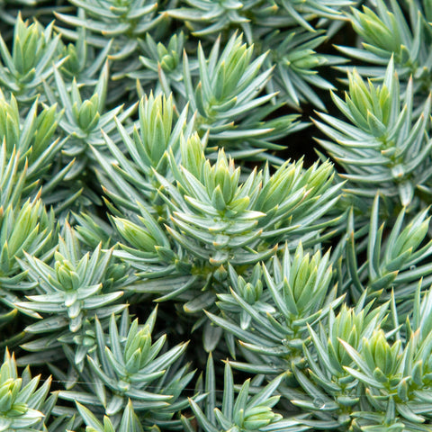 Juniperus squamata Blue Star - Flaky juniper