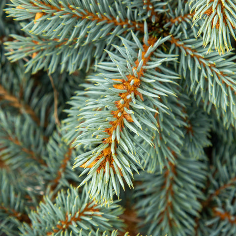 Picea pungens Blue Trinket - Colorado Spruce