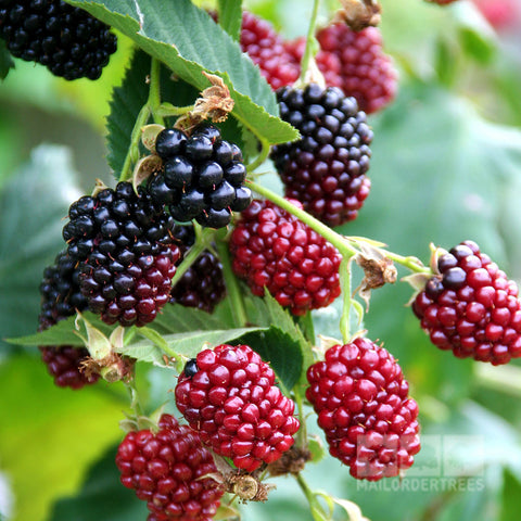 Boysenberry Thornless - Fruit
