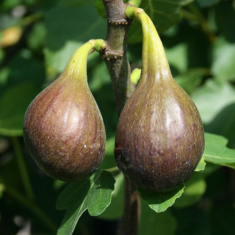 Ficus Brown Turkey - Figs