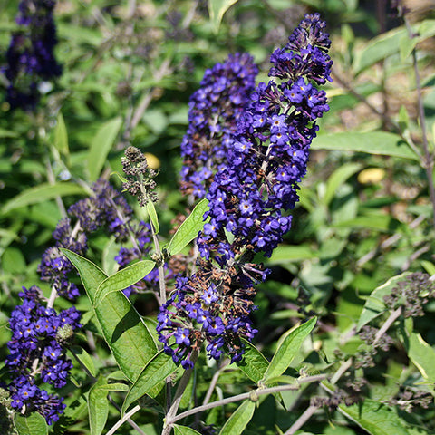 Buddleja Adonis Blue Adokeep - Flower