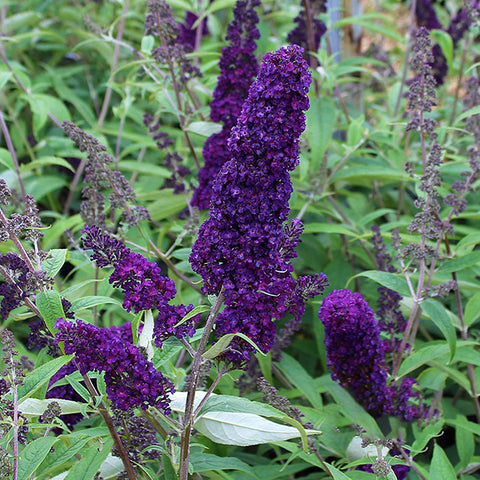 Buddleja Black Knight - Flower