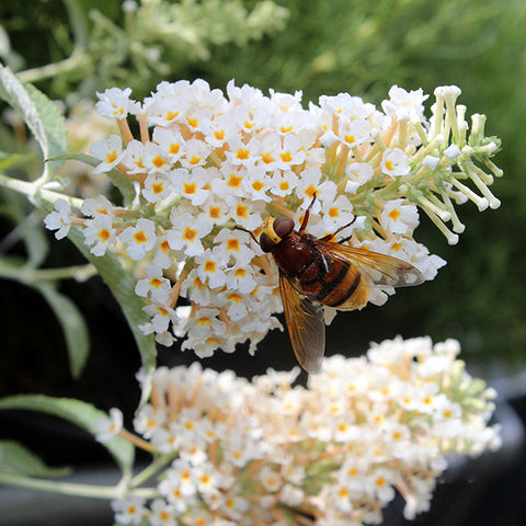 Buddleja Ivory - Butterfly Bush