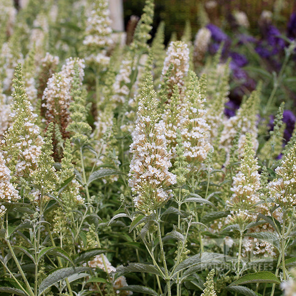 Buddleja Ivory Butterfly Bush Mail Order Trees