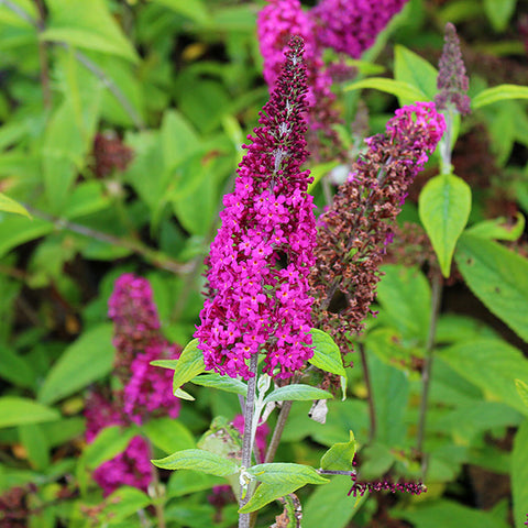 Buddleja Miss Ruby - Flower