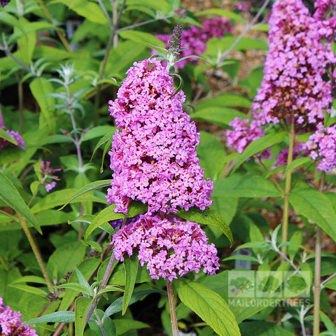 Buddleja Pink Delight - Flower