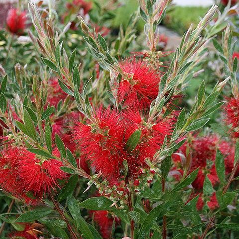 Callistemon Splendens - Flowers