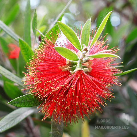 Callistemon rigidus - Flower
