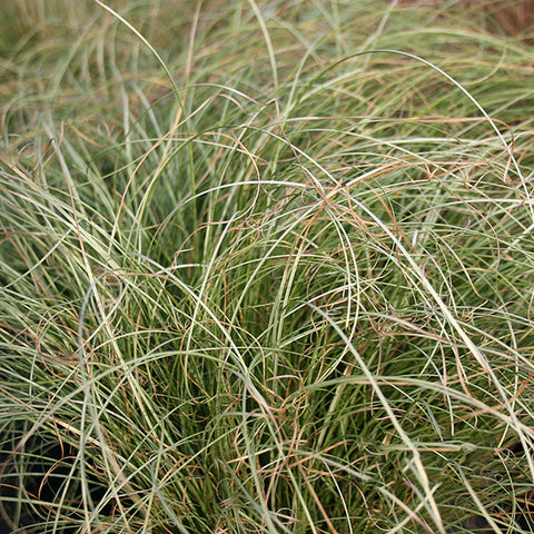 Carex Frosted Curls - Grass