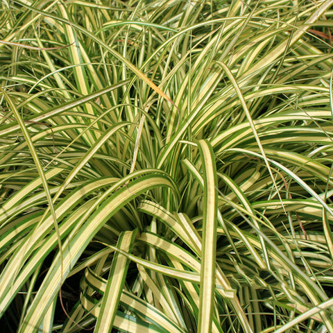 Carex Evergold - Grass