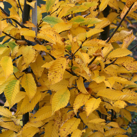 Carpinus Fastigiata - Autumn Foliage