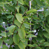Carpinus Frans Fontaine - Foliage