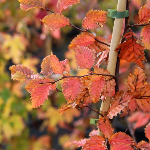 Carpinus betulus Rockingham Red - Autumn Colour
