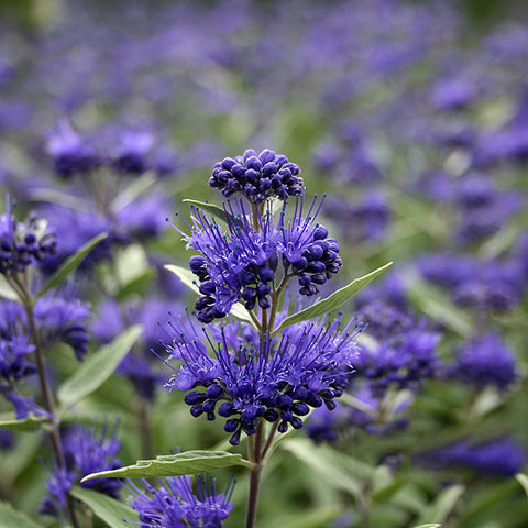 Caryopteris Dark Knight - Flowers