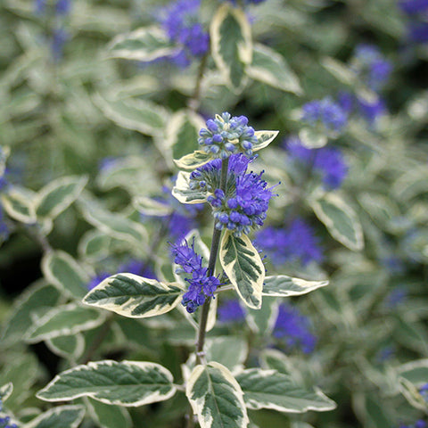 Caryopteris White Surprise - Flowers