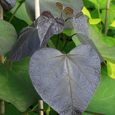 Catalpa Purpurea - Foliage