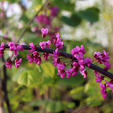 Cercis Ruby Falls - Flowers