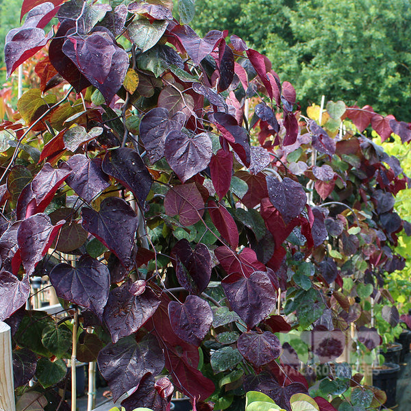 Cercis Ruby Falls Weeping Redbud Mail Order Trees