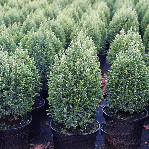 Chamaecyparis Snow White - Foliage