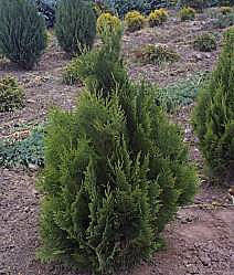 Chamaecyparis Green Pillar - Foliage