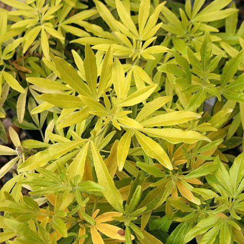 Choisya Goldfingers - Foliage