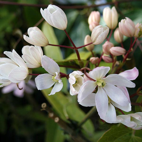 Clematis Apple Blossom - Flowers