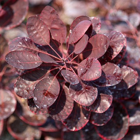 Cotinus Royal Purple - Foliage