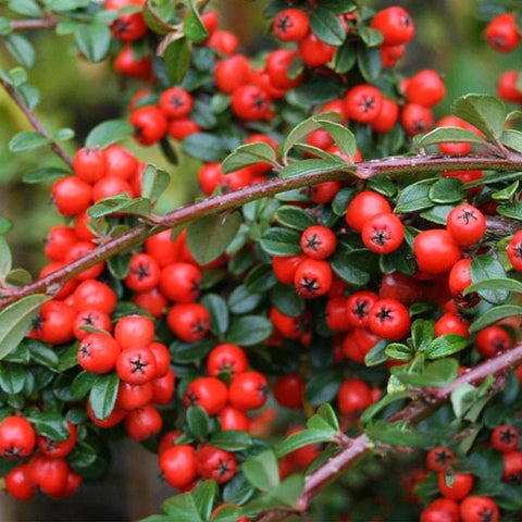 Cotoneaster Coral Beauty - Berries
