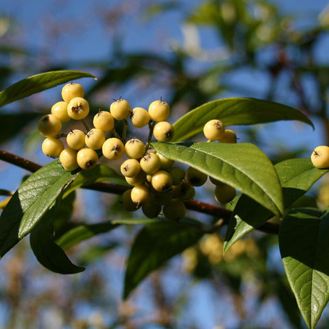 Cotoneaster Rothschildianus - Fruits