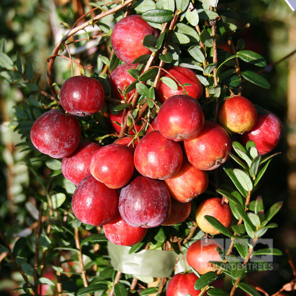 Vaccinium Early Black Early Black Cranberry Plant Mail
