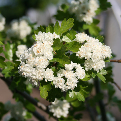 Crataegus Plena - Flowers