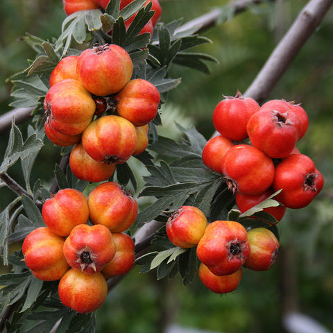 Crateagus orientalis - Fruits