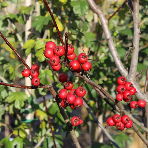 Crataegus Prunifolia - Fruits