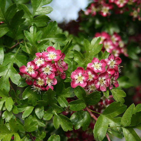 Crataegus Crimson Cloud - Spring Flowers