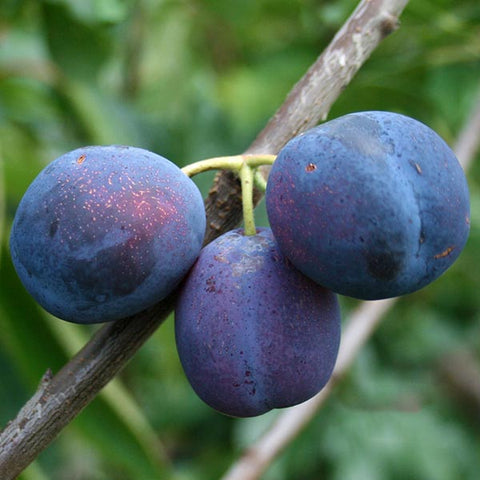 Prunus Merryweather Damson - Fruits