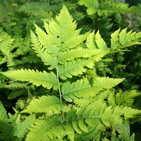 Dryopteris goldiana - Foliage