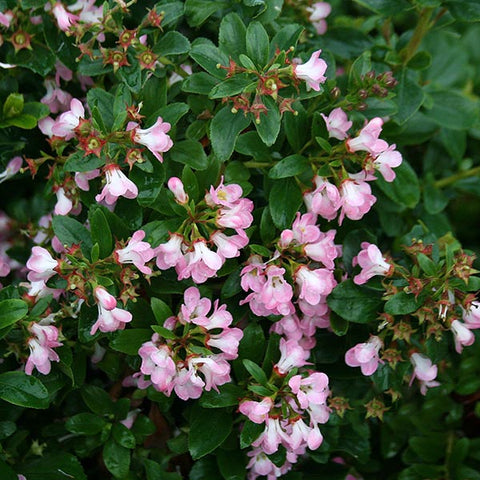 Escallonia Apple Blossom - Flowers