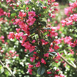 Escallonia Donard Radiance - Flowers