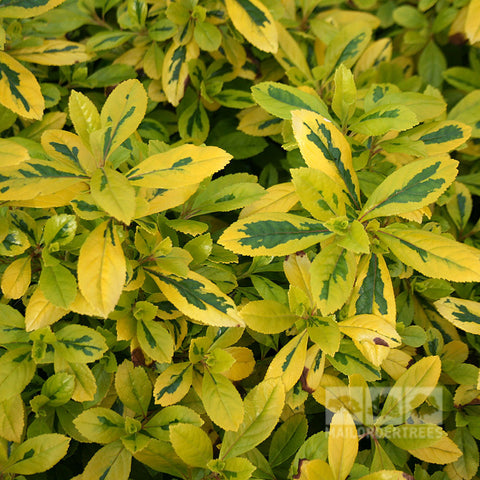 Escallonia Gold Ellen - Foliage