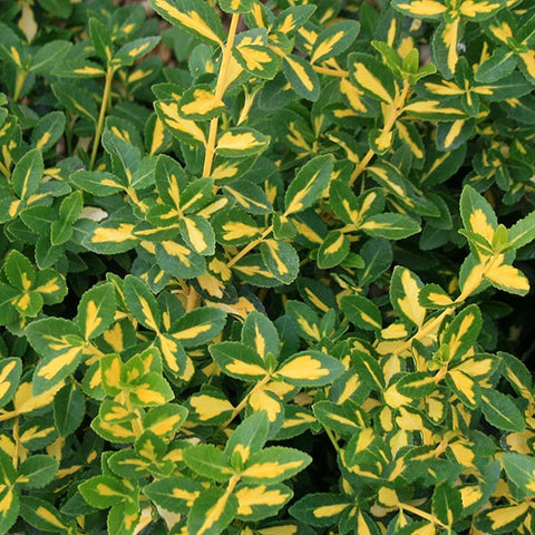 Euonymus Blondy - Foliage