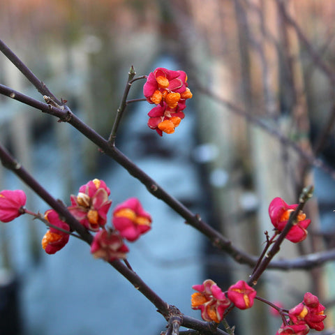 Euonymus Red Cascade - Flowers