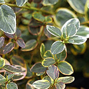 Euonymus Canadale Gold - Foliage