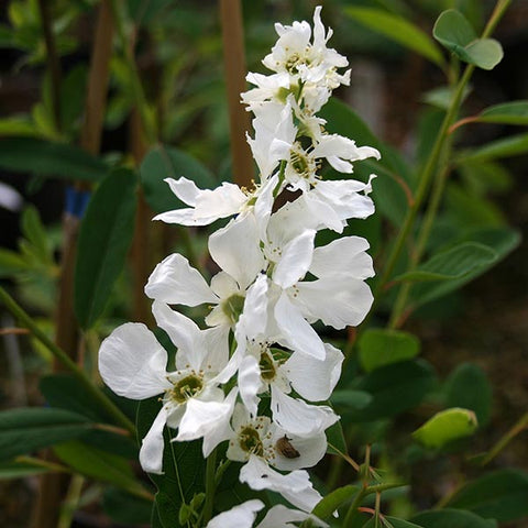 Exochorda The Bride - Flower