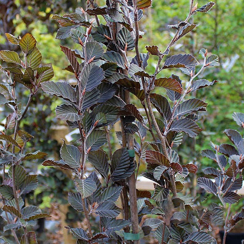 Fagus Dawyck Purple - Foliage