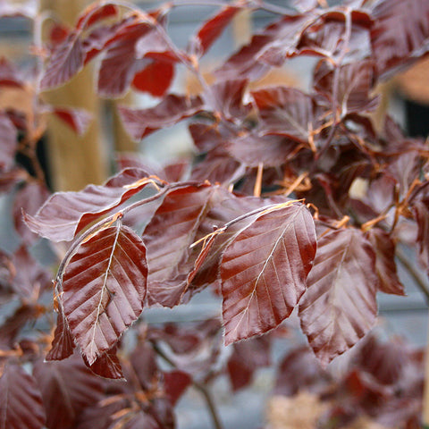 Fagus Purpurea - Foliage