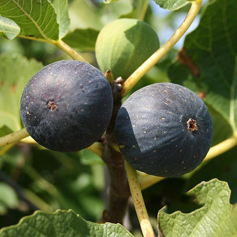 Ficus Brogiotto Nero - Figs