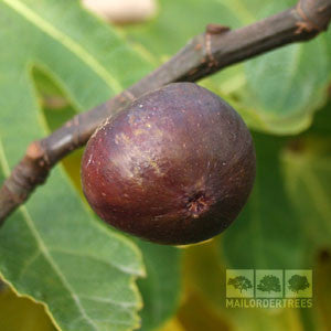 Ficus Rouge de Bordeaux - Fruit