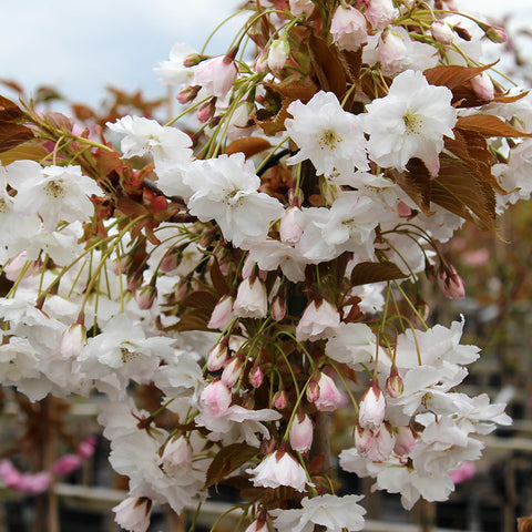 Prunus Fragrant Cloud - Flowers
