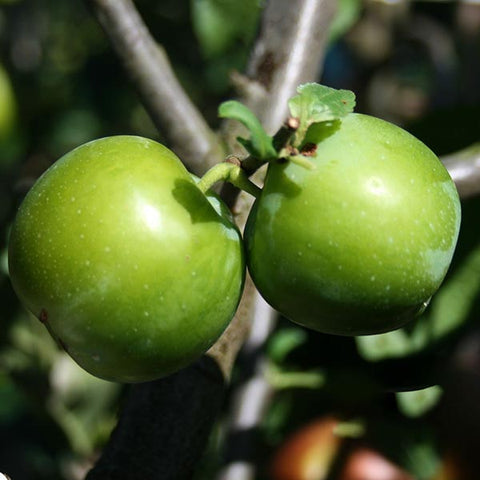 Prunus Early Transparent Gage - Fruits