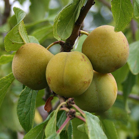 Prunus Old English Greengage - Fruits